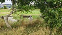 Chèvres Hjortshoj