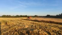 Harvest wheat Hjortshoj