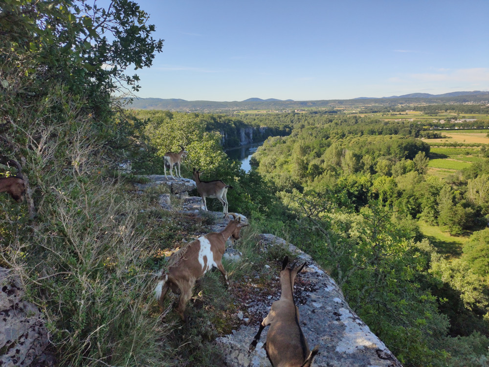 Goats Chassezac