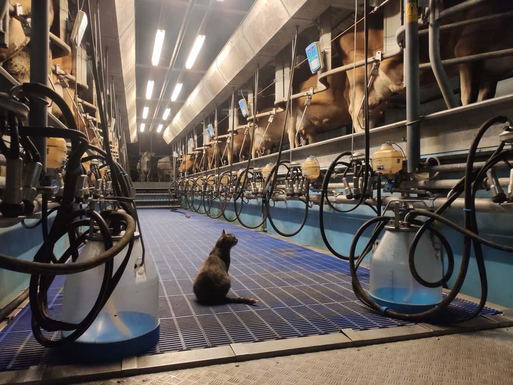Milking Svanholm
